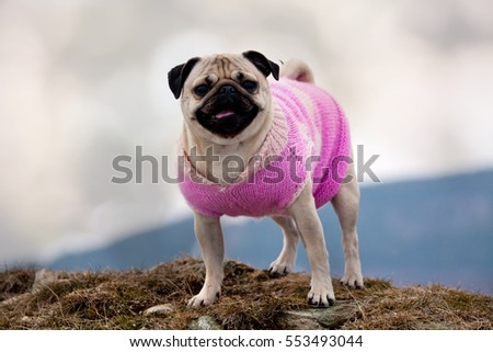 mopps dog dressed in swear in cold weather Stock foto ©