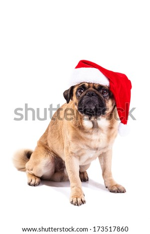 Mops pug as Santa isolated on white
