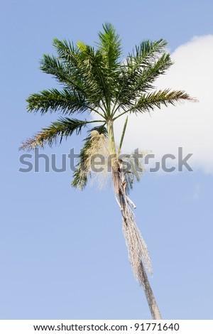 Morass Royal Palm, Roystonea Princeps, endemic to Jamaica