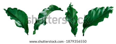 More beautiful exotic tropical leaves, isolated leaf background,clipping path inclu Foto stock ©