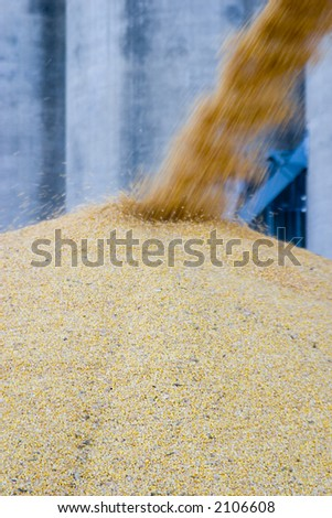 More corn being piled up