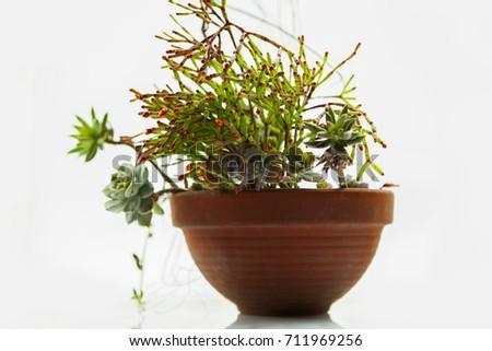 More meat plants, foliage plants potted plants, #711969256