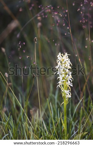 More of the Lesser Butterfly Orchid. You can found it on Ireland, across Europe and in  Asia to Korea and Japan. It is also found in North Africa. Here from the Swedish island, Oland.