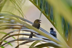 Morelet's Seedeater bird sitting on a palm branch with beak wide open