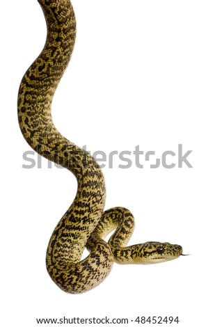Morelia spilota variegata, a subspecies of python, against white background