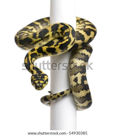 Morelia spilota variegata python, 1 year old, on pole in front of white background