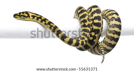 Morelia spilota variegata python, 1 year old, on pole in front of white background