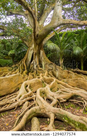 Moreton Bay fig, a.k.a. Ficus macrophylla is not native to the Azores, but this one has been enjoying the humid island of Sao Miguel.  Stock foto ©