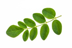 Moringa leaves on white background. Moringa Oleifera