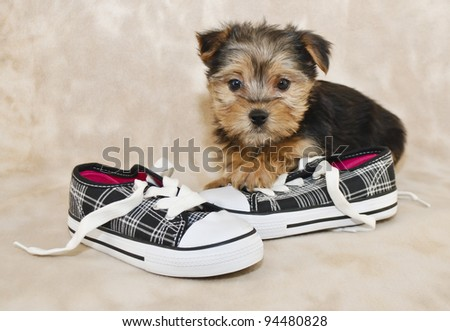 Morkie puppy sitting with a pair of shoes, with copy space.