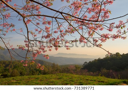 Morning Cherry Blossom