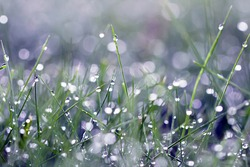 Morning dew in the grass