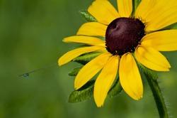 Morning dew on a black-eyed susan wildflower at The Morton Arboretum in Lisle, Illinois.
