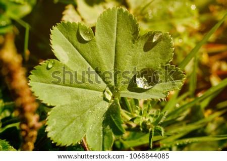 Morning dew on Alchemilla (lady's mantle)