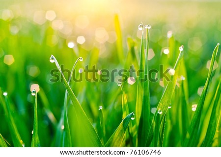 Morning dew on blades of grass during sunrise