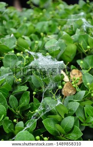 Morning dew on cobweb on leaves #1489858310