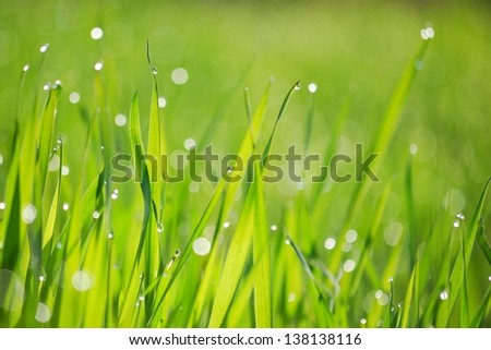 Morning Dew on fresh green grass. Shallow DoF