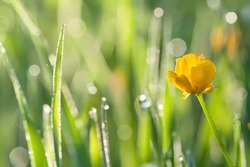 Morning dew on grass with yellow flower; beautiful nature background with shallow depth of field