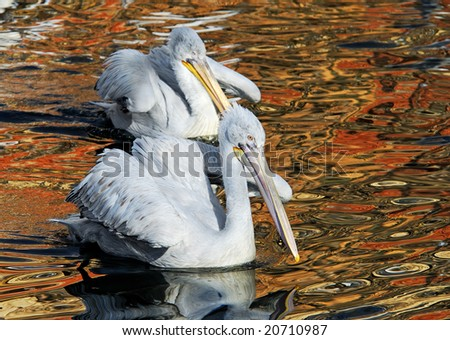 Morning early, dalmatian pelicans pair in a spawning dress float on lake