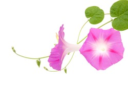 Morning Glory blooms, isolated white