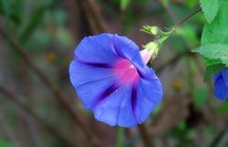 Morning glory flower, blue and purple flower, patriate of Morning glory flower.