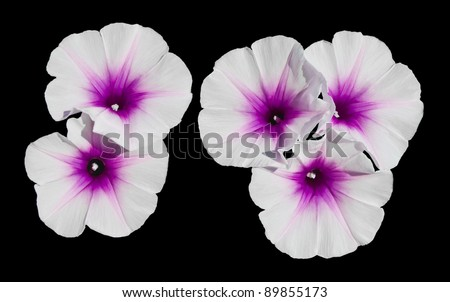 Morning glory flower. Morning glory flowers are white mixed with purple.