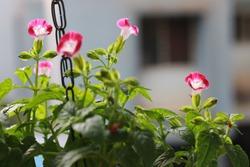 Morning Glory flower. Purple-pink morning glory flower in garden. Beautiful flower plant to keep in balcony garden