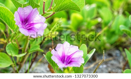 Morning glory flowers are born in the sandy beach or coast. The morning glory flowers are purple and pale purple on the petals, Beach morning glory, Seaside morning glory is blooming.