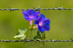 Morning Glory Flowers blooming on barbed wire,and isolated blurred green background.