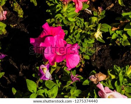 Morning glory flowers on greenery background. Pink morning glory macro photo. Colorful morning glory closeup photo. Botanical photo. Wedding or greeting postcard. Sping and summer season