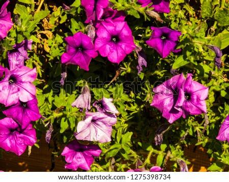 Morning glory flowers on greenery background. Violet morning glory macro photo. Colorful morning glory closeup photo. Botanical photo. Wedding or greeting postcard. Sping and summer season