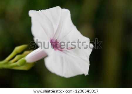 Morning glory (Ipomoea alba) flower purple and white, sometimes called the tropical white morning-glory or moonflower) or moon vine. copy space
