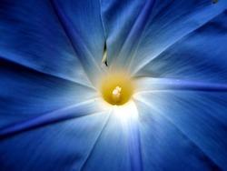 Morning Glory Ipomoea flower.