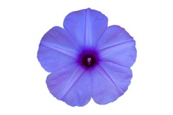 Morning glory is a species of  isolated background.