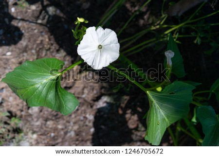 Morning glory or White dwarf morning glory on the ground
