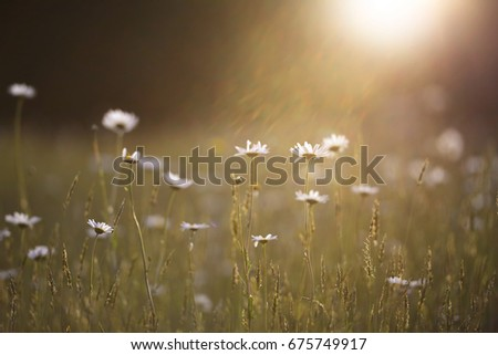 Morning glow golden sunny day meadow wilds daisies flowers #675749917