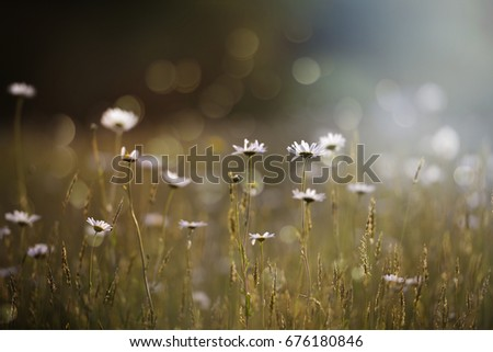 Morning glow golden sunny day meadow wilds daisies flowers #676180846