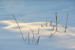 Morning golden light peeking through dry stalks of weeds in winter snow