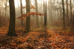 Morning in autumn forest. Poland