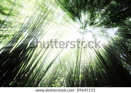 Morning in bamboo forest with beam of the sun.