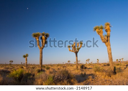 Morning in Joshua Tree National Park in the Mojave Desert of Southern California.