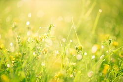 Morning landscape sunrise in the meadow, on the grass and flowers of the drops of dew. The idea of the background of Mother's day, 8 March and World environment day. Soft focus