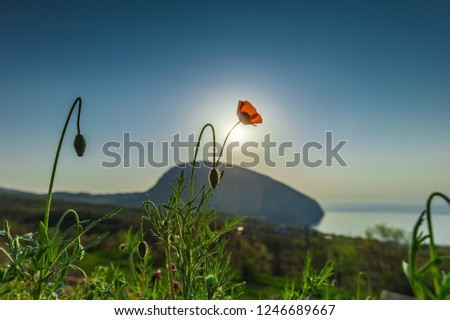 Morning landscape with Ayu-Dag mountain and sunny poppies in the village Gurzuf