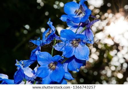 morning. larkspur flowerbed. Delphinium flower candle. summer garden. villatic holiday season. spring bloom. nature environment,   #1366743257