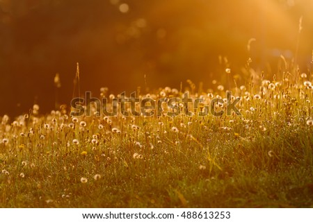 Morning light on the meadow with dandelions #488613253