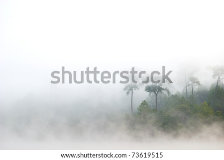 morning mist cover pine tree forest form Chiangmai Thailand