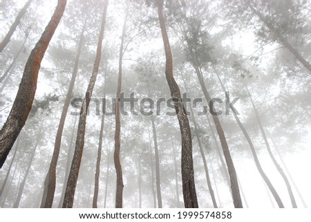 morning mist view in fresh pine forest