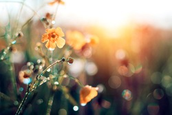 Morning summer or spring. Beautiful wildflowers with dew drops at dawn, light blur, selective focus. Shallow depth of field.