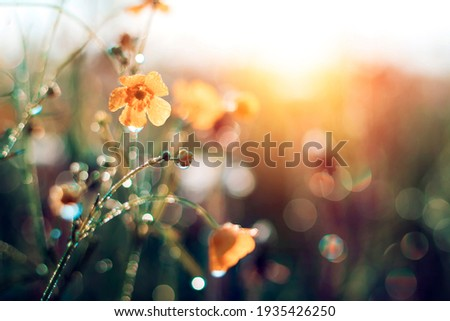 Morning summer or spring. Beautiful wildflowers with dew drops at dawn, light blur, selective focus. Shallow depth of field. Photo stock ©
