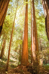 Morning sun light in Muir Woods National Monument, California. USA. The Muir Woods National Monument is an old-growth coastal redwood forest.
